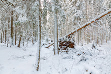 Winter Forest With Snow And An...