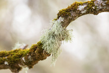 Usnea Lichen Growing On A Tree Branch