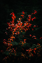 Bright Red Leaves Contrasted W...