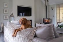 Beautiful Dog Resting Over The Back Of A Sofa In A Luxurious Room.