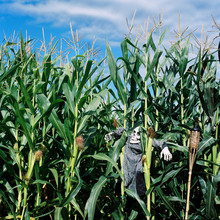 Inside Of A Halloween Corn Maze, The Top Half Of A Skeleton Takes A Break From Scaring Passersby.