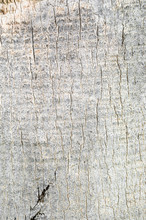 Texture Of Bark Of Palm.