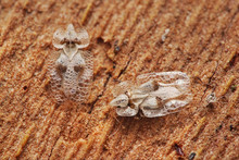 Couple Of Sycamore Lace Bugs O...