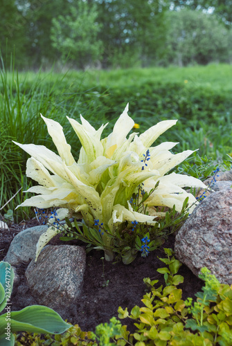 Hosta White Feather Young Plant This Stock Photo And
