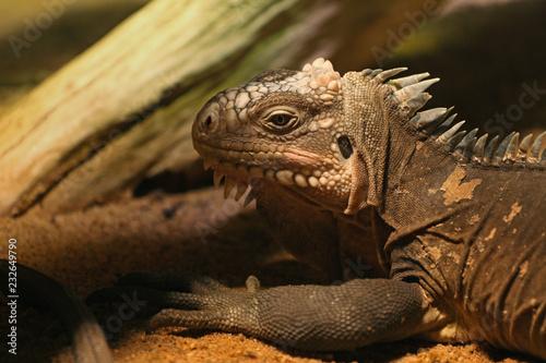 Fotografie, Obraz  Lesser Antillean iguana, a critically endangered large arboreal lizard endemic to the Lesser Antilles