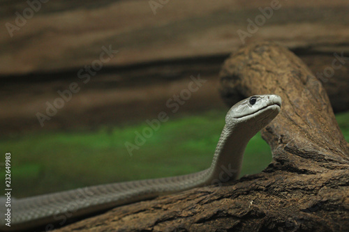 The black mamba, an extremely venomous snake native to parts of sub-Saharan Africa on a close up horizontal picture Wallpaper Mural