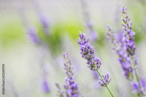 Spoed Foto op Canvas Lavendel Brin de lavande en provence