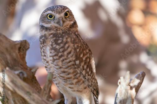 Photo  Burrowing Owl Potrtait