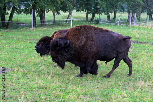 Poster Bison A herd of bison on a farm grazes on a meadow