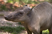North Sulawesi Babirusa, Deer-pig, Old Female
