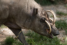 North Sulawesi Babirusa, Deer-pig, Male