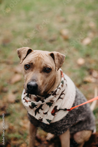 Portrait of a Cute Rescue Dog Wearing a Bandana and Sweater