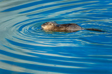 Muskrat Swimming In The River