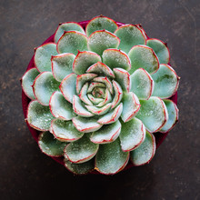Close Up Of A Succulent (Echeveria) Covered With Waterdrops