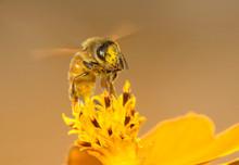 Honey Bee Sucking Nectar On A ...