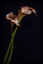 Close Up Of Dried Calla Lily