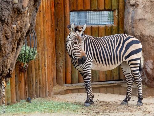 Photo Stands Zebra Zebra in the Zoo