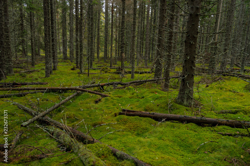 Fototapeten Wald Green moss and trees in the old forest