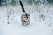 Striped Cat Walking Through The Snow