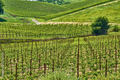 Spoed Foto op Canvas Verenigde Staten Vineyards in California, USA