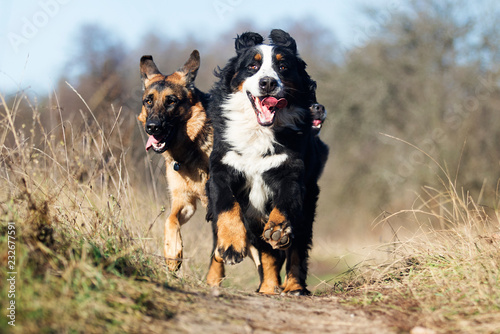 Photo  group of dogs running