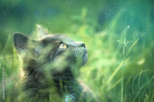 Fototapeta premium Szary kot w trawie