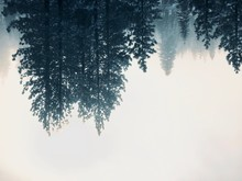 Upside Down Pine Trees On A Fo...