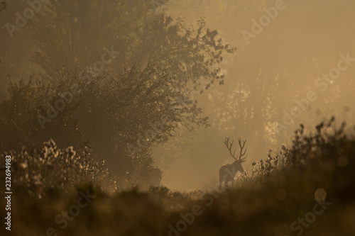 Red deer in forest on foggy morning
