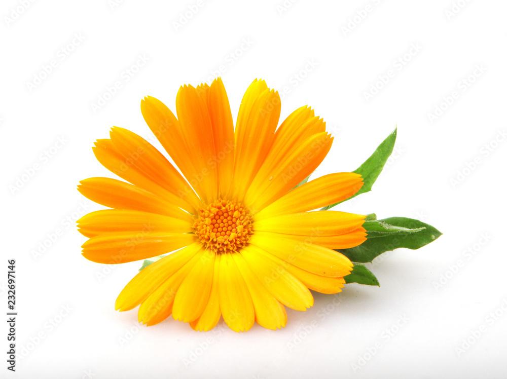 Fototapety, obrazy: Marigold - Calendula Officinalis Isolated On White Background