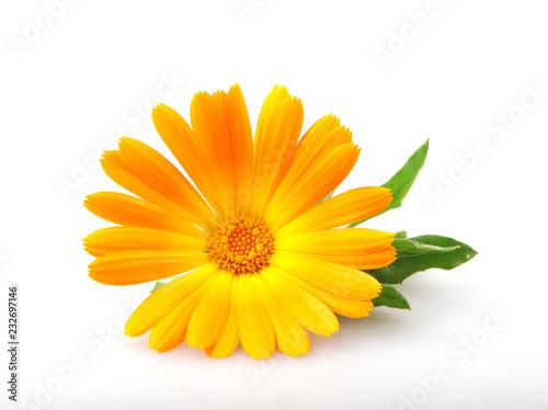 Obraz Marigold - Calendula Officinalis Isolated On White Background - fototapety do salonu
