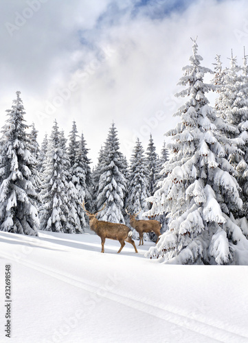 Fotobehang Winter landscape with sika deers ( Cervus nippon, spotted deer ) walking in the snow in fir forest and glade