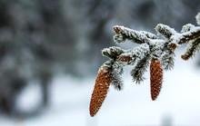 Close-up Of Pine Tree Cones In...