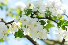 Branch Of Apple Tree Blossom