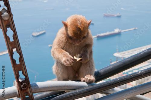 Fotografering  Berberaffe, Gibraltar, Britisches Überseegebiet
