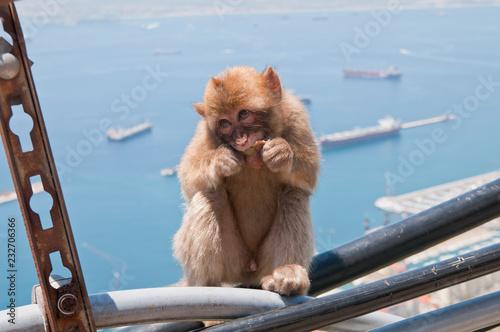 Photo  Berberaffe, Gibraltar, Britisches Überseegebiet