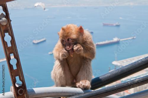 Fotografie, Obraz  Berberaffe, Gibraltar, Britisches Überseegebiet