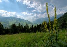 Verbascum Nigrum; Black Mullein Flower On Alpine Meadow, Walensee And Churfirsten In Background