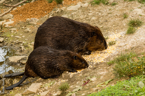 Fotografia, Obraz  North American Beaver (Castor canadensis)