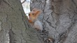 Eurasian red squirrel sits near the nut and then climbs up the tree