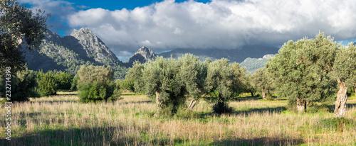 Cuadros en Lienzo olive grove on the island of Mallorca