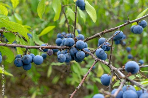 wild berries. Prunus spinosa, called blackthorn or slow. Fototapet