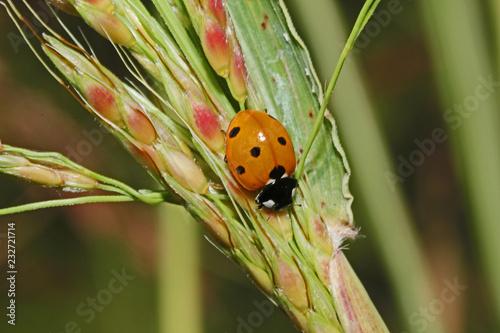 coccinella dai sette punti (coccinella septempunctata)