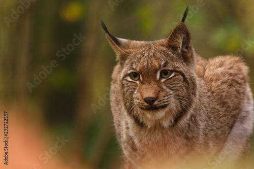 Staande foto Lynx Luchs im Herbstwald