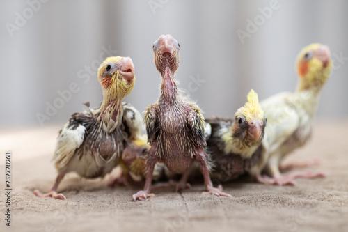 Valokuvatapetti Close up shot of beautiful miniature Cockatiel chicks playing and searching for feeding