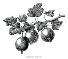 Gooseberries Fruit Plant Botanical Vintage Engraving Illustration Isolated On White Background