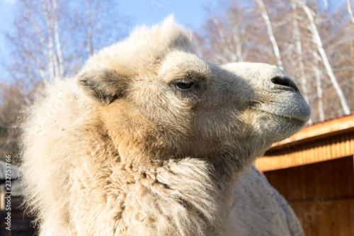 Staande foto Lama portrait of camel