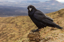 Black Raven (Corvus Corax) Perched On A Round Volcanic Rock Looking Curious In A Blurred Volcano Landscape.