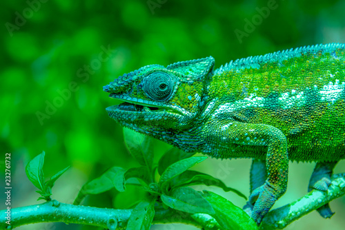 Poster Chamaleon A chameleon species that is endemic to wild nature Madagascar