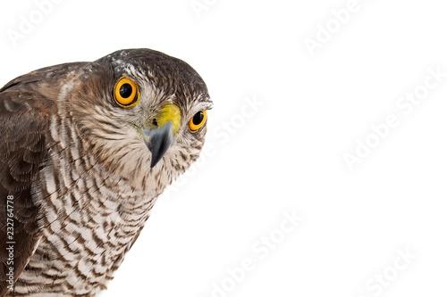 Photo  Birds of prey - Eurasian Sparrowhawk (Accipiter nisus) female