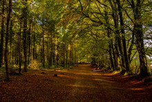 Autumnal Beech Trees And Woodland Walk, Woodbury Common, Devon